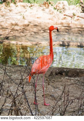 Red Flamingo (lat. Phoenicopterus Ruber) With Long Legs Standing On The River Bank In The Bushes On