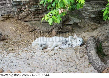 The Polar Wolf (lat. Canis Lupus Tundrarum) Of White Color Lies Resting Near A Hole In The Rocks. Wi