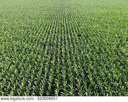Extensive Corn Fields, Top View. Green Farm Fields, Landscape.