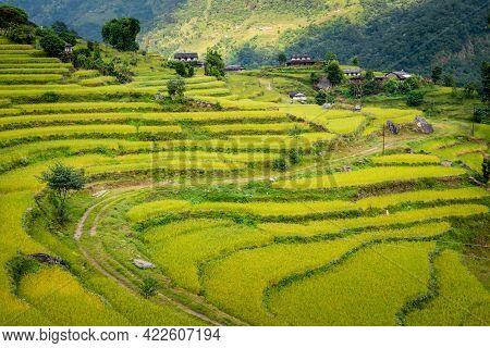 View Of The Rice Field Terraces In Ghandruk Village In Annapurna Sanctuary, Nepal. Ghandruk Village