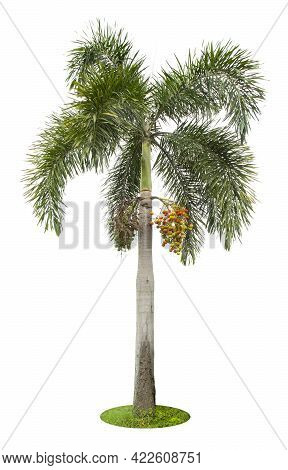Beautiful Green Palm Tree Isolated On White Background.