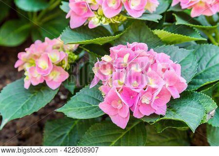 Blossom Pink Hydrangeas Plant In The Garden.