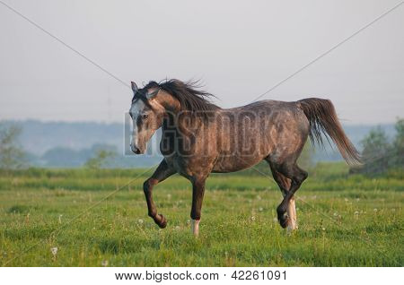 Grey arab horse gallop in the summer