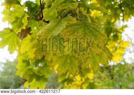 Close View Of Green And Yellow Leafage Of Norway Maple In October