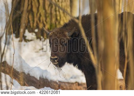 Free Ranging European Bison Male Calf In Wintertime Forest, Bialowieza Forest, Poland, Europe