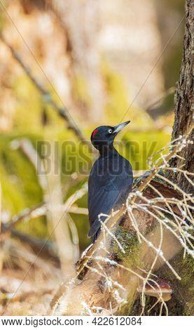 Black Woodpecker (dryocopus Martius) Female On Branch, Bialowieza Forest, Poland, Europe