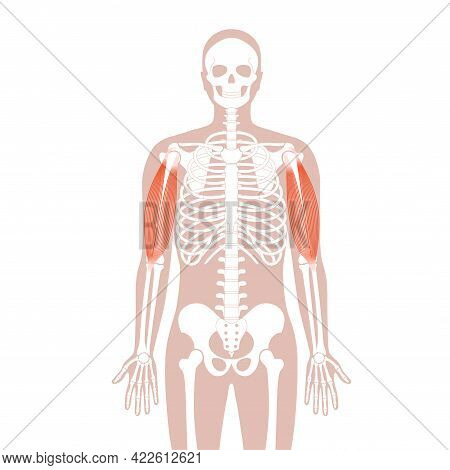 Human Biceps, Muscular System Concept. Skeleton, Hip, Ribs And Skull Bone Anatomical Poster. Hand Bo