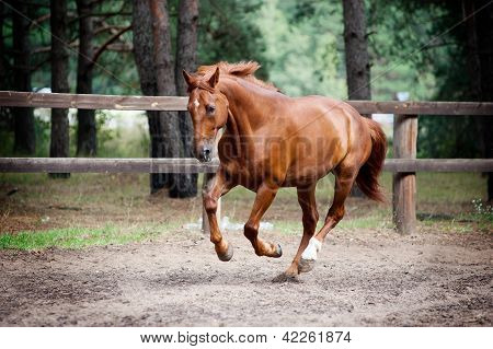 chestnut horse galloping in paddock