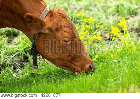 A Cow In The Pasture Eats Grass. Cow Face. The Cow Grazes In The Pasture. Close-up. Cow Nutrition Co