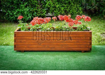 Geraniums in a wooden box in the garden