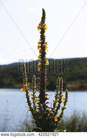 Yellow Flowers Of Verbascum Densiflorum, The Denseflower Mullein Or Dense-flowered Mullein, It Is A