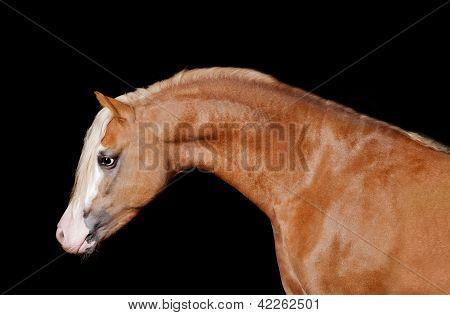 flaxen chestnut welsh pony studio shot
