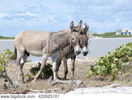 The Couple Of Wild Donkeys By The Lagoon On Grand Turk Island (turks And Caicos Islands).