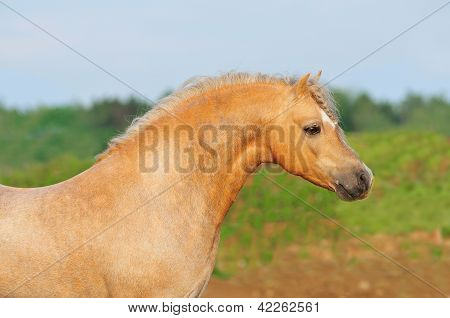 The roan welsh pony portrait