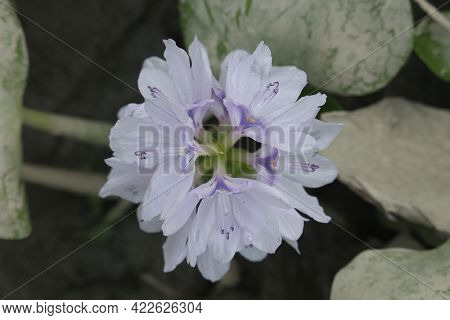Beautiful Purple Flower Of Pontederia Eichhornia Crassipes, Also Known As Water Hyacinth, Enceng Gon
