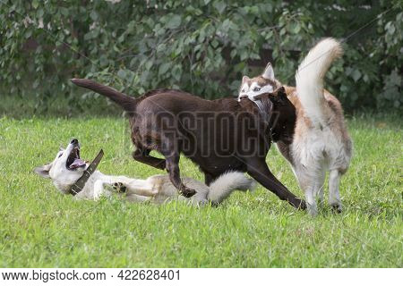 Siberian Husky, West Siberian Laika And Labrador Retriever Puppy Are Playing On A Green Grass In The