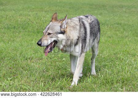 Czechoslovak Wolfdog Is Walking On A Green Grass In The Summer Park. Pet Animals. Purebred Dog.