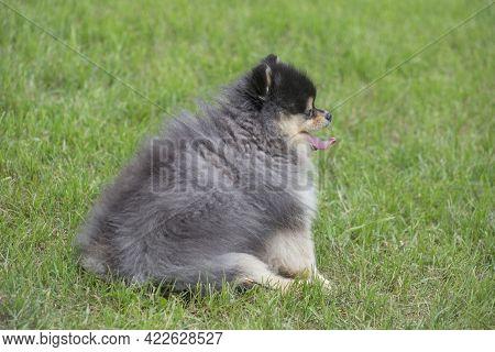Cute Pomeranian Spitz Puppy Is Sitting On A Green Grass In The Summer Park. Deutscher Spitz Or Zwerg