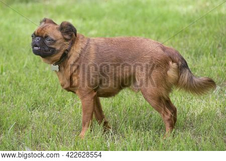 Cute Petit Brabancon Puppy Is Standing On A Green Grass In The Summer Park. Pet Animals. Purebred Do
