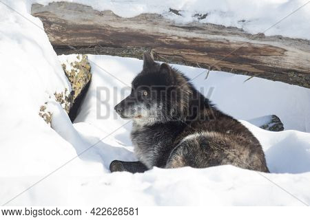 Wild Black Canadian Wolf Is Lying On A White Snow And Looking Away. Canis Lupus Pambasileus. Animals