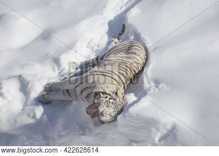 Wild White Bengal Tiger Is Lying And Basking On A White Snow. Panthera Tigris Tigris. Animals In Wil