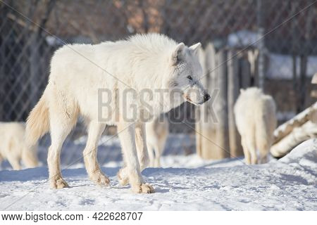 Wild White Wolf Is Walking On A White Snow. Canis Lupus Arctos. Polar Wolf Or Alaskan Tundra Wolf. A