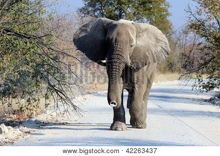 African elephant bull in Etosha Wildlife Reserve Namibia poster