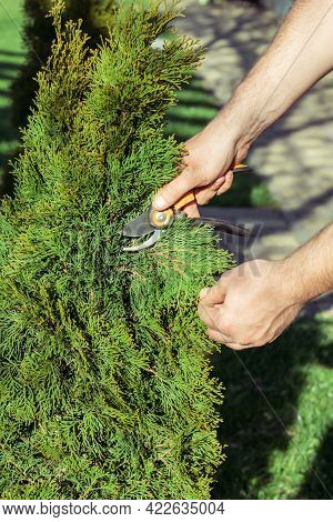 Hands Of Man Who Cuts Thuja Branches With A Pruner In Garden In Sunlight. Vertical