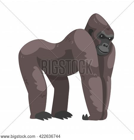 Gorilla Monkey As Ground-dwelling Herbivorous Great Ape Vector Illustration