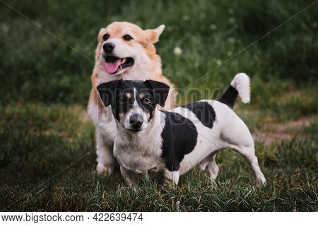 Walk In Park With Two Purebred Dogs. Corgi Is Sitting And Jack Russell Is Standing Next To Him. Wels