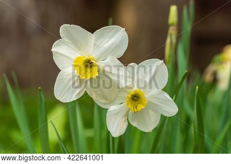 Russia. May 17, 2021. With The Onset Of Heat, Daffodil Flowers Bloomed In The City's Flower Beds And