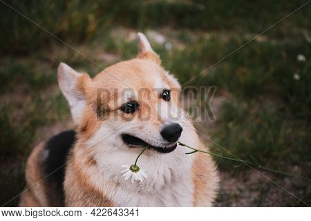 Welsh Corgi Pembroke Tricolor Sits In Park On Green Grass And Grabs Daisy Flower In Its Mouth. Charm