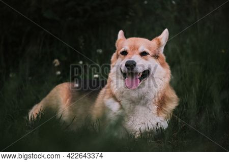 The Worlds Smallest Shepherd Dog. Pembroke Tricolor Welsh Corgi Lies In Park On Green Grass And Smil