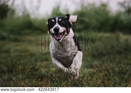 Smooth Haired White And Black Jack Russell Terrier On Walk In Park Cheerfully Actively And Energetic