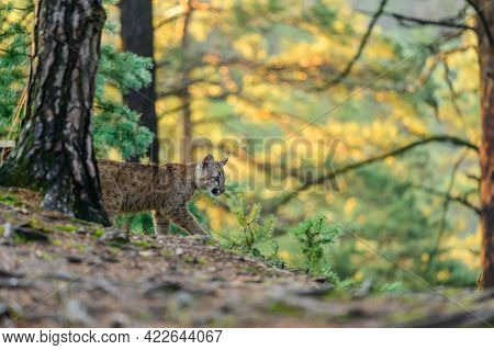 The Cougar (puma Concolor) In The Forest At Sunrise. Young Beast.