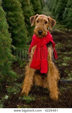Airedale terrier dog sitting in Christmas tree field
