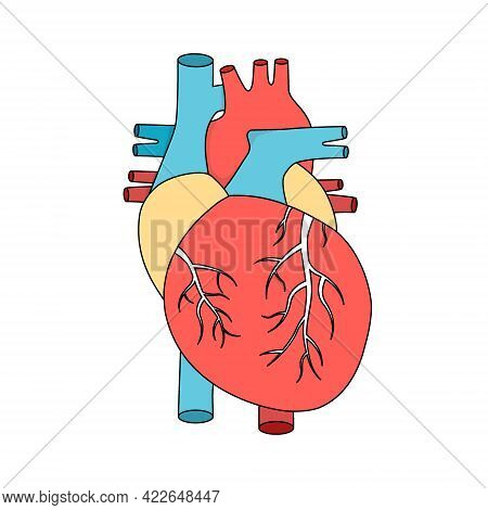 Anatomical Human Heart. Internal Muscular Organ Illustration. Cardiology Concept.