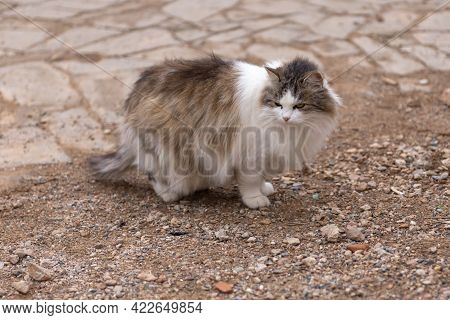 Shaggy Menacing Cat. A Street Cat On An Old Paving Stone Looks To The Left.