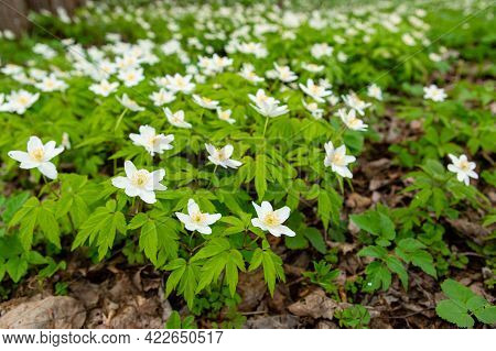 Spring Forest And Beautiful , White Anemones. Anemone Nemorosa