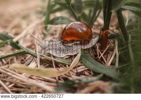 A Snail Crawls On Dry Grass. The Snail's House Is Wet With Dew. The Shell Of A Snail Stands Out For