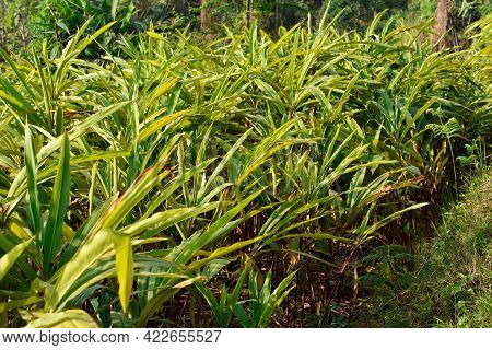 Black Cardamom Is A Red Stemmed, Tall, Clustering, Evergreen With Abundant Glossy, Slim, Tropical Le