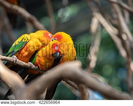 Close Up Group Of Sun Conure Parrot Perched On Branch Isolated On Background