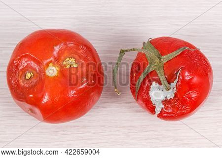 Spoiled Wrinkled Tomatoes With Mold, Concept Of Unhealthy And Disgusting Vegetables