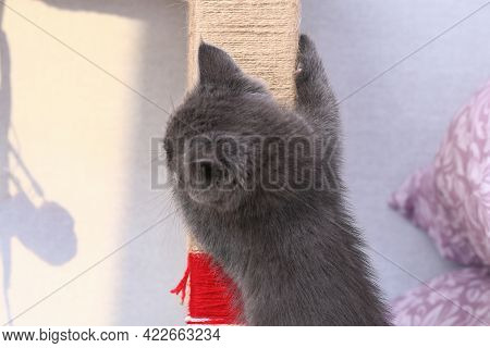 A Small Gray Kitten Climbs A Homemade Scratching Post Made Of Rope And A Rack. Sharpens Claws, Scrat