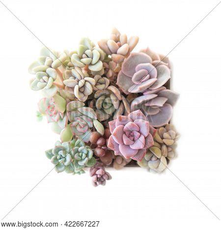 Echeveria Lilacina, Pink Graptoveria Debbie, Echeveria Esther, Graptopetalum Paraguayense, Graptosed