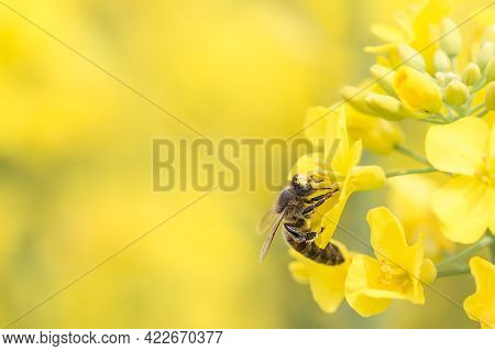 Honey Bee Collecting Honey From Yellow Rapeseed Blossom. Bee Collecting Bee Pollen.
