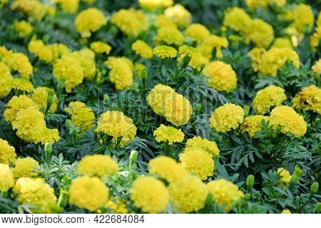 Marigolds Shades Of Yellow And Orange, Floral Background (tagetes Erecta, Mexican Marigold, Aztec Ma