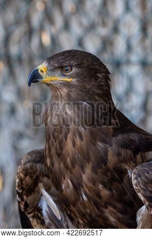 A Golden Eagle Portrait Shot (aquila Chrysaetos) Very Close Up Showing Off Golden Feathers, Yellow E