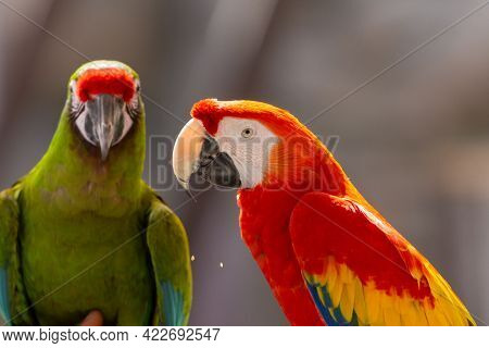 A Scarlet Macaw (ara Macao) And Military Macaw (ara Militaris) Showing Off Vibrant Colors Close Up.