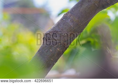 Fused Apple Tree Branch After Grafting In The Summer.